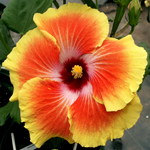 Tropical Hibiscus 'Acapulco Gold'