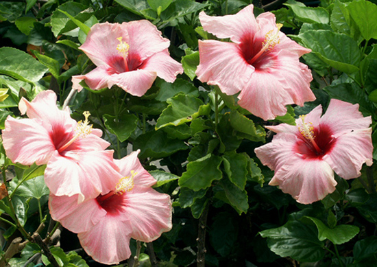 Hibiscus 'All that Jazz'