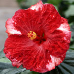 Tropical Hibiscus 'American Legend'