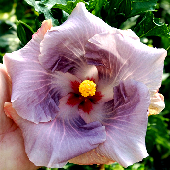 Giant Hibiscus 'Amethyst Crystal'