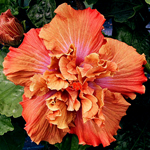 Tropical Hibiscus 'Anasazi Maiden'