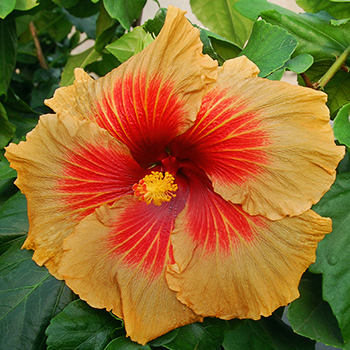 Tropical Hibiscus 'Apple Pie'