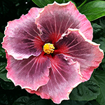 Hibiscus 'Babe in the Woods'