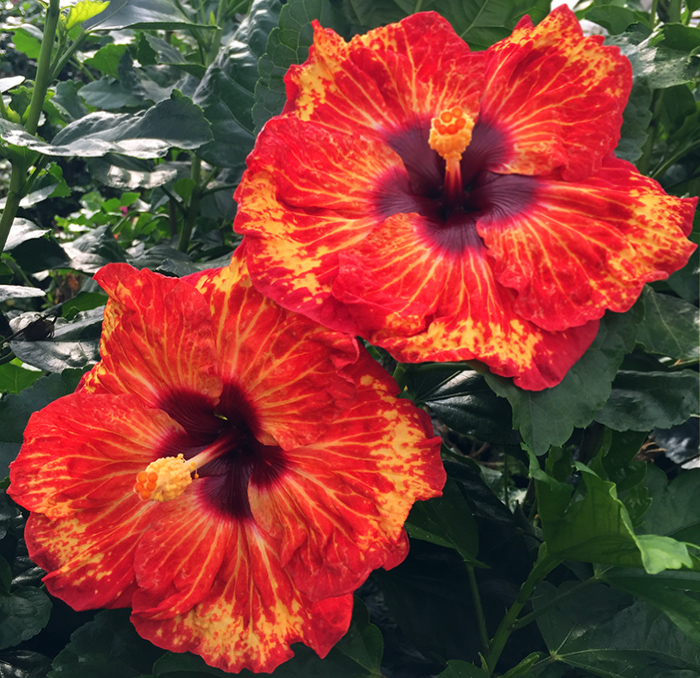 Tropical Hibiscus 'Barbecue'
