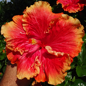 Tropical Hibiscus 'Barry's Timeless'