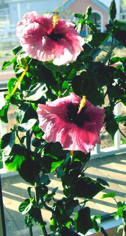 Exotic Hibiscus 'Belle du Jour'