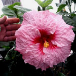 Tropical Hibiscus 'Belle du Jour'