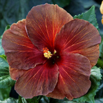 Tropical Hibiscus 'Black Cherry'