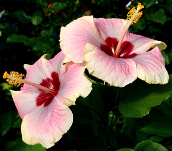 Tropical Hibiscus 'Blushing Bride'