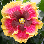 Tropical Hibiscus 'Bright Hope'