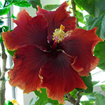 Tropical Hibiscus 'Burnt Saffron'
