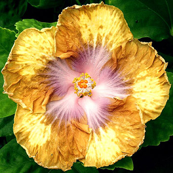 Hibiscus 'Butter Cup'