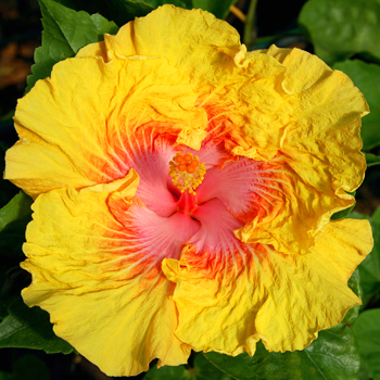 Exotic Hibiscus 'California Beauty'