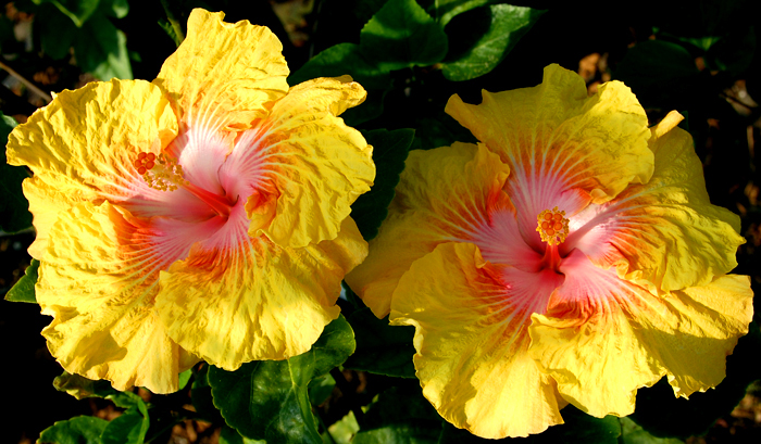 Hibiscus 'California Beauty'