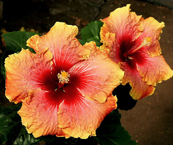 Exotic Hibiscus 'Call me Al'