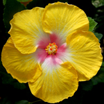 Hibiscus 'Canary Song'