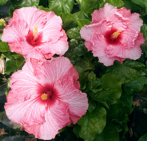 Exotic Hibiscus 'Candy Stripe'