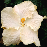 Hibiscus 'Carte Blanche'