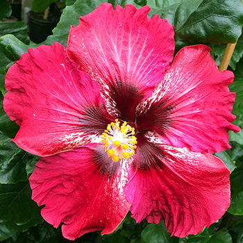 Tropical Hibiscus 'Catch My Breath'