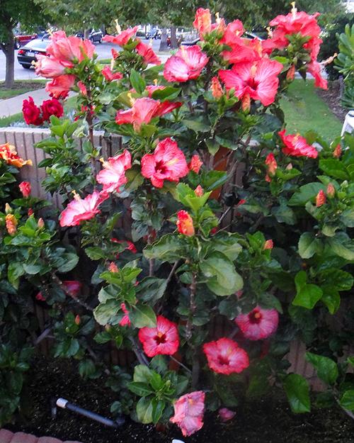 Yew Vertical (Taxus x media) | Mi vida en el jardín