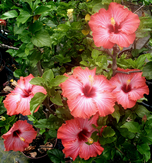 Exotic Hibiscus 'Chariots of Fire'