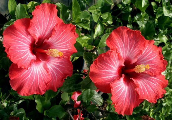 Hibiscus 'Chariots of Fire'