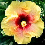 Hibiscus 'Cheery Disposition'