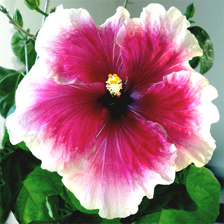 Exotic Hibiscus 'Cindy's Heart'
