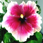 Tropical Hibiscus 'Cindy's Heart'