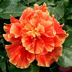 Tropical Hibiscus 'Cloudberry Jam'