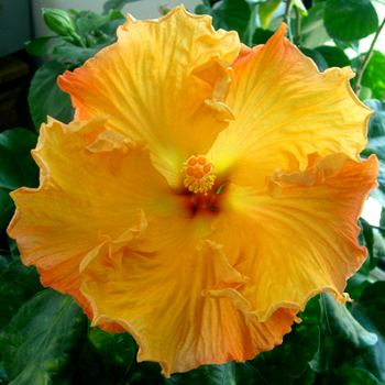 Tropical Hibiscus 'Cosmic Gold'