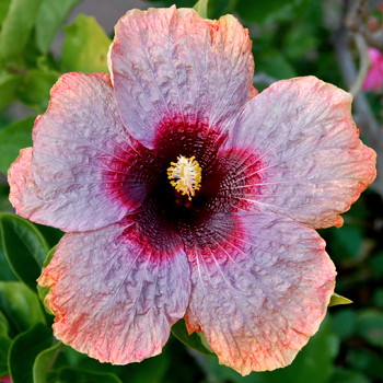 Hibiscus 'Crinkle in Time'