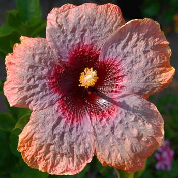 Tropical Hibiscus 'Crinkle in Time'