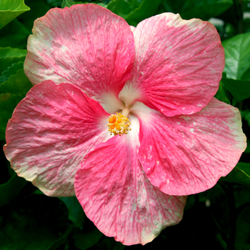 Tropical Hibiscus 'Crystal Pink'