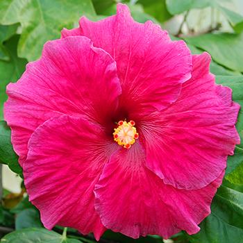 Exotic Hibiscus 'Deepest Love'