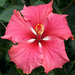 Tropical Hibiscus 'Dragon Child'