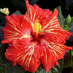 Tropical Hibiscus 'Energy Burst'