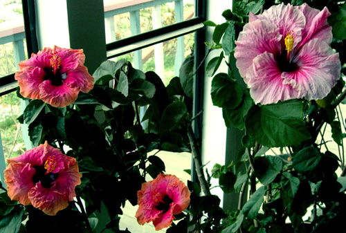 Exotic Hibiscus Houseplants