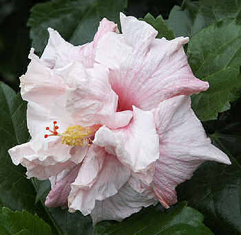 hibiscus Fairy Queen