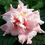 Tropical Hibiscus 'Fairy Queen'
