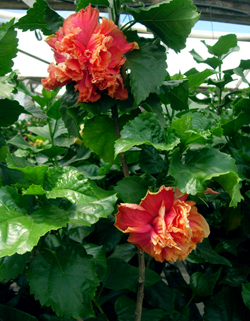 Tropical Hibiscus 'Fat Actress'