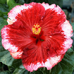 Tropical Hibiscus 'Fire on the Mountain'