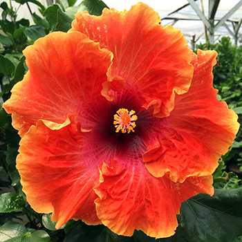 Tropical Hibiscus 'Flashpoint'
