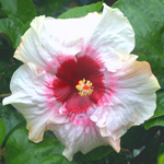 Tropical Hibiscus 'Florence Nightingale'