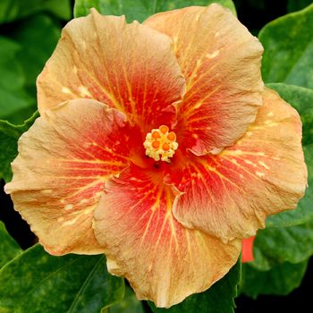 Exotic Hibiscus 'Freckle-Faced Boy'