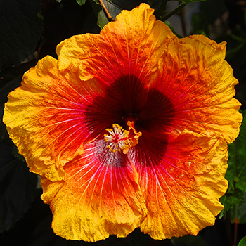 Tropical Hibiscus 'Gaudy Night'