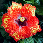 Tropical Hibiscus 'Gold Mine'
