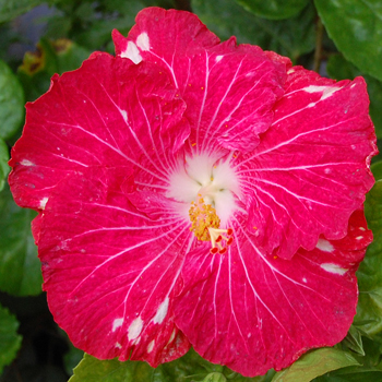 Tropical Hibiscus 'Happily Ever After'