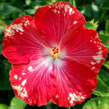 Exotic Hibiscus 'Happy Heart'