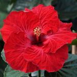 Tropical Hibiscus 'Heart of My Heart'